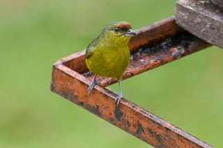 Red-crowned_Ant-Tanager_female.jpg