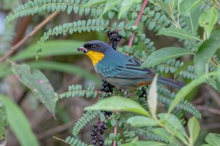 Yellow-throated_Tanager.jpg