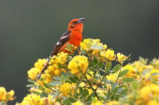 Flame-colored_Tanager.jpg
