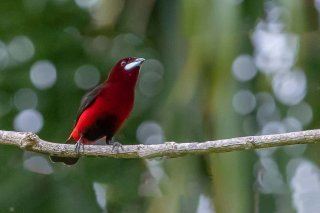 Black-bellied_Tanager.jpg