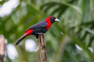 Crimson-collared_Tanager.jpg