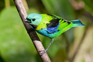 Green-headed_Tanager.jpg