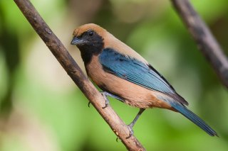 Burnished-buff_Tanager.jpg