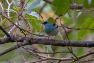Blue-browed_Tanager.jpg