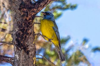 Blue_and_Yellow_Tanager.jpg