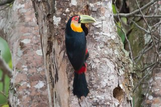 Red-breasted_Toucan.jpg