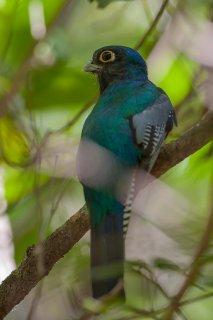 Blue-crowned_Trogon.jpg