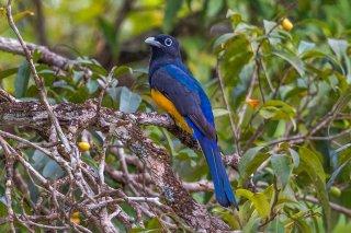 Amazonian_White-tailed_Trogon.jpg