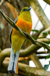 Orange-breasted_Trogon.jpg