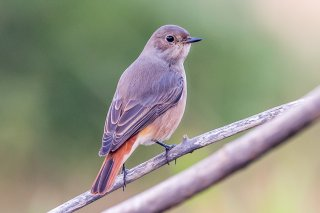 Common Redstart female