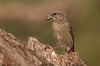 Crossbill female