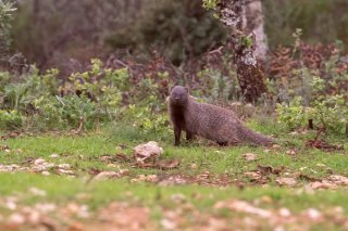 Egyptian-Mongoose.jpg