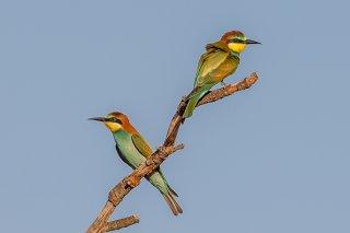 European-Bee-eater.jpg
