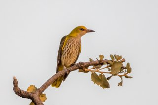 Golden-Oriole-f.jpg