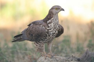 Honey-Buzzard.jpg