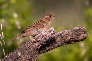 House-Sparrow-(f).jpg
