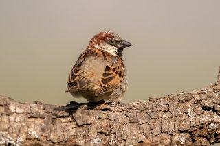 House-Sparrow.jpg