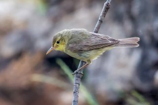 Melodious-Warbler.jpg