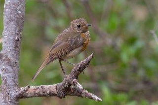 Robin-juvenile.jpg