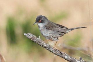 Sardinian-Warbler.jpg