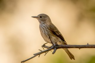 Spotted-Flycatcher.jpg