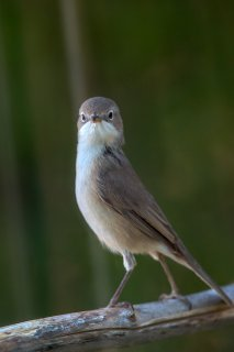 Whitethroat2.jpg