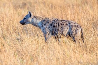 2M3A4278_-_Spotted_Hyena.jpg