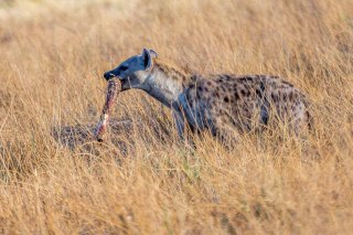 2M3A4282_-_Spotted_Hyena.jpg