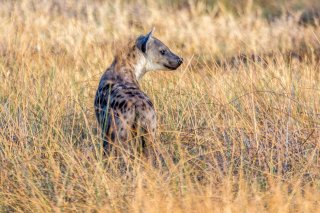 2M3A4287_-_Spotted_Hyena.jpg