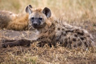 3T9P8574_-_Spotted_Hyena.jpg