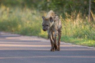 C16V3773_-_Spotted_Hyena.jpg
