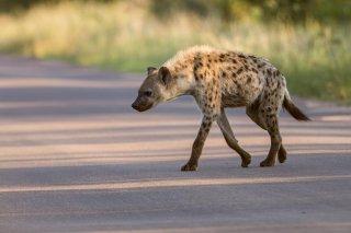 C16V3775_-_Spotted_Hyena.jpg