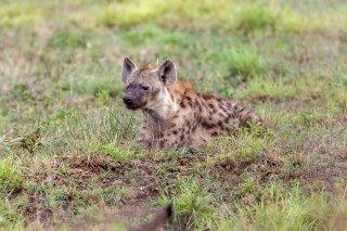 C16V7938_-_Spotted_Hyena.jpg
