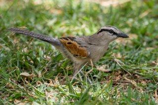 Brown-crowned-Tchagra.jpg
