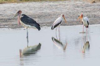 Marabou---Yellow-billed-Stork.jpg