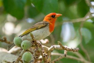 Red-headed-Weaver.jpg