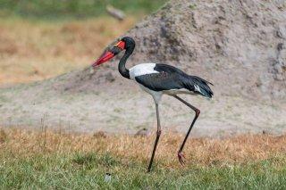 Saddle-billed-Stork.jpg