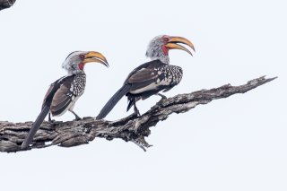 Southern-Yellow-billed-Hornbill.jpg