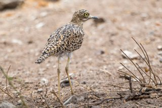 Spotted-Thick-knee.jpg