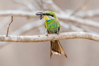 Swallow-tailed-Bee-eater.jpg
