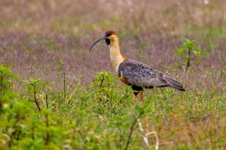 Andean-Black-faced-Ibis.jpg