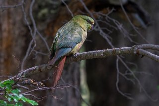 Austral-Parakeet.jpg