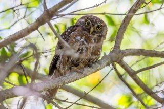 Austral-Pygmy-Owl.jpg