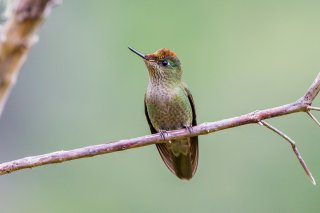 Green-backed-Firecrown.jpg