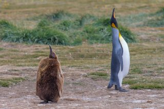 King-Penguin.jpg