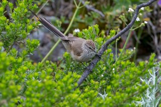 Plain-mantled-Tit-Spinetail.jpg