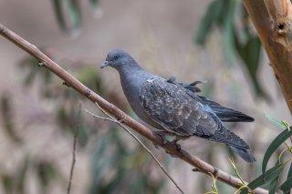 Spot-winged-Pigeon.jpg