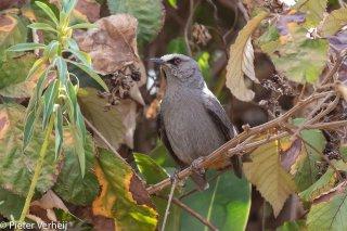 Abyssinian-Catbird.jpg