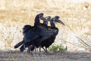 Abyssinian-Ground-Hornbill.jpg