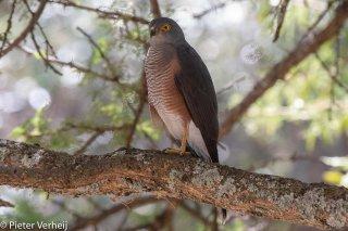 African-Sparrowhawk.jpg